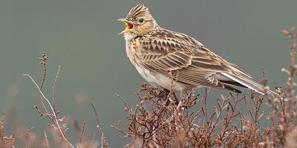 Sky lark on heather bush