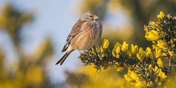 Male linnet in gorse