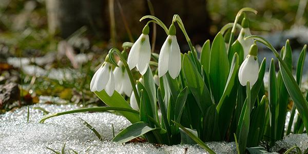 Snowdrop hotspots in North Yorkshire