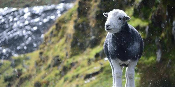 The Herdwicks of Cumbria