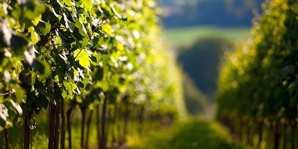 Wine Week 2015: Wine Production in Kent