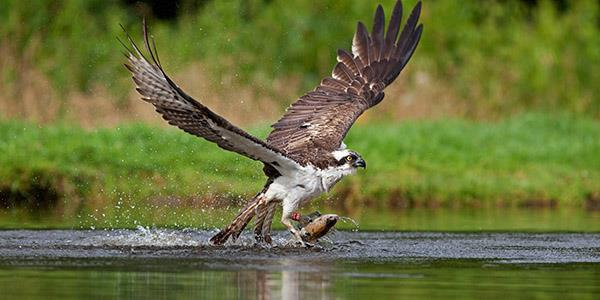 Ospreys in Scotland