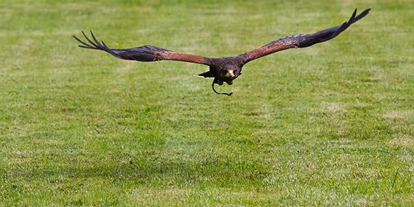 British School of Falconry, Gleneagles Estate, Perthshire