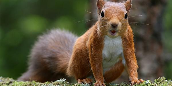 Red squirrels at Merlewood...?