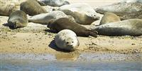 Grey seal season at Blakeney Point