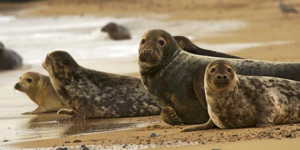 Pembrokeshire grey seals