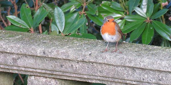 Why do we see so many robins in our winter gardens?