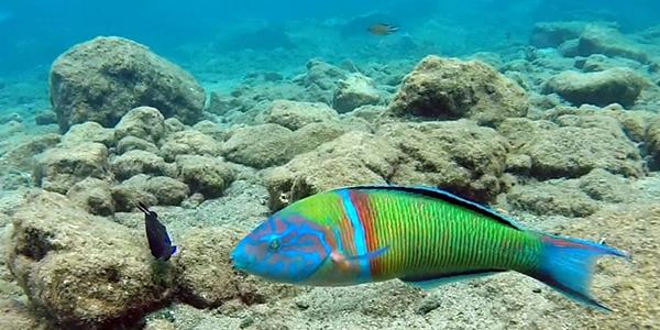 Beautifully coloured wrasse