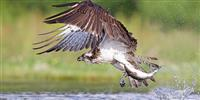 Ospreys thrive during their annual summer in Scotland