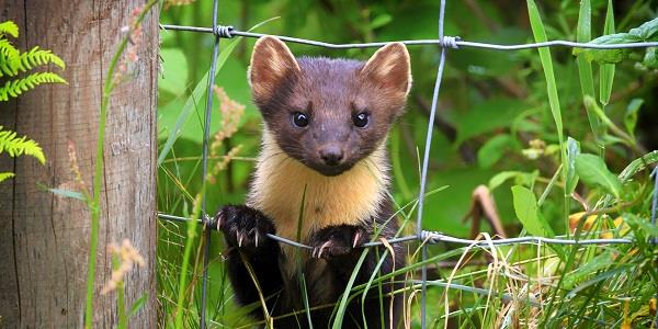 Pine martens: unsung heroes of the red-squirrel revival?