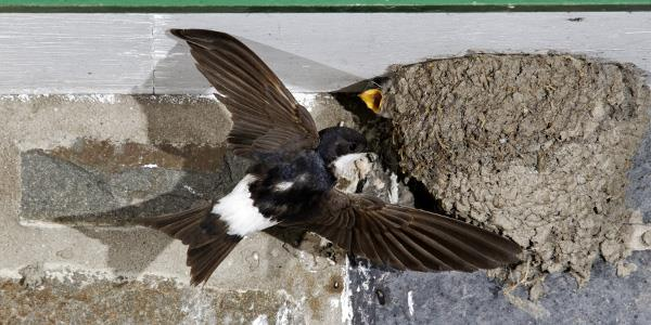 The Decline of the House Martin